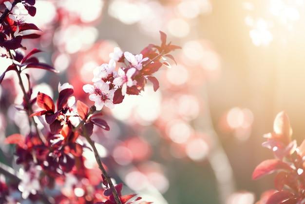 Bloeiende japanse kersenboom. blossom sakura bloemen.