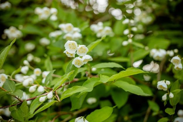 Bloeiende jasmijn tak met witte bloemen in zonlicht in zonnige zomerdag.
