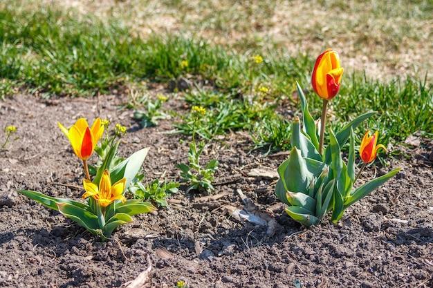 Bloeiende jonge bloemen in de tulpenbedden. begin mei bloeien in de tuin van een openbaar park met de komst van de lente.