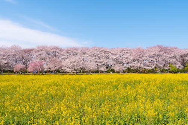 Bloeiende kersenbloesembomen in het voorjaar bij kumagaya sakura tsutsumi, saitama