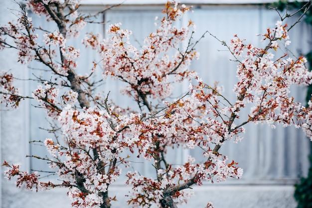 Bloeiende kersenboom met roze bloemen in het voorjaar.