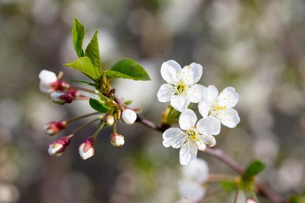 Bloeiende kersenboom op de achtergrond van de natuur. lente bloemen. lente achtergrond.