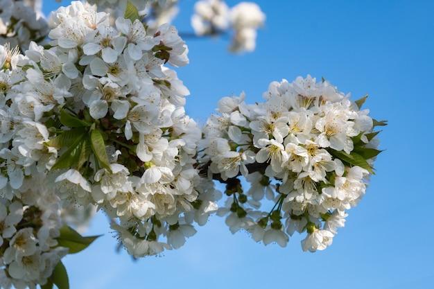 Bloeiende kersenboomtakken met een bewolkte blauwe lucht.