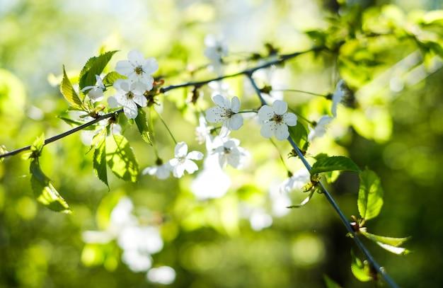 Bloeiende kersentak in de lente in de tuin.