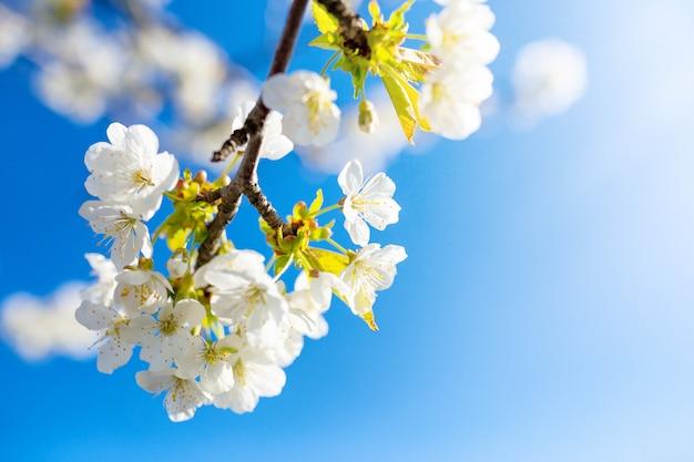Bloeiende kersentak op een zonnige dag tegen een blauwe hemel, de lentekaart