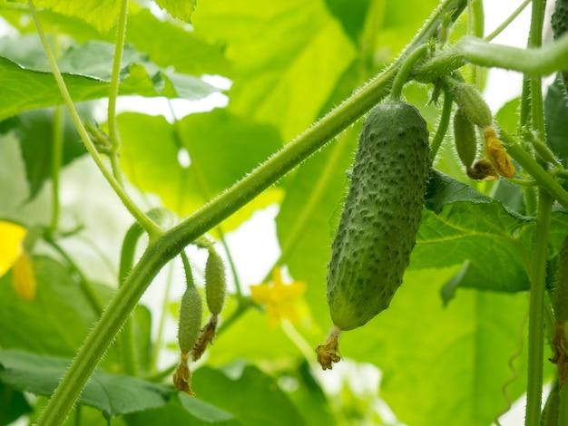 Bloeiende kleine komkommers op een tak in een kas