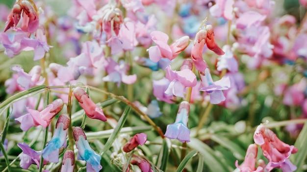 Bloeiende kleurrijke vicia villosa in het wild