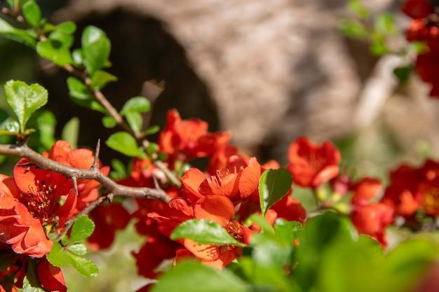 Bloeiende kweepeer bloeit in het voorjaar rode bloemen van chaemnomeles japonica kweepeer selectieve aandacht