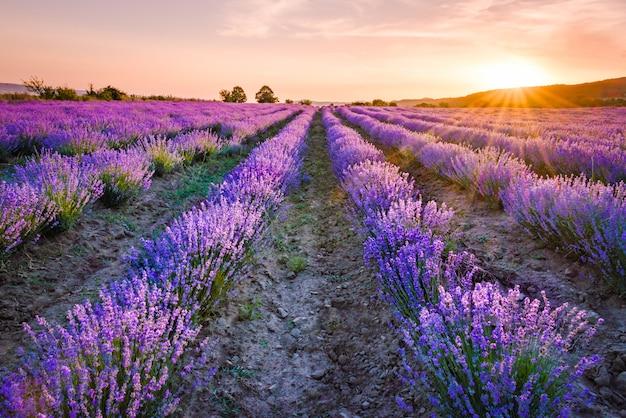 Bloeiende lavendel veld onder de rode kleuren van de zomer zonsondergang