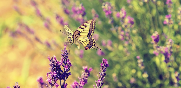 Bloeiende lavendel veld. vlinder aan bloemen.