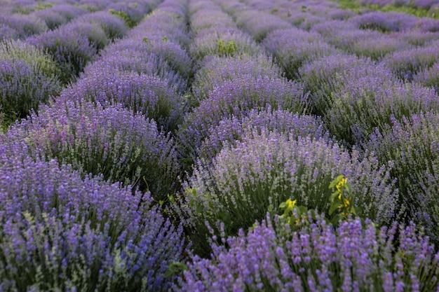 Bloeiende lavendelvelden