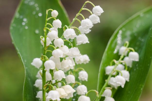 Bloeiende lelietje-van-dalen mei witte klokken op een green