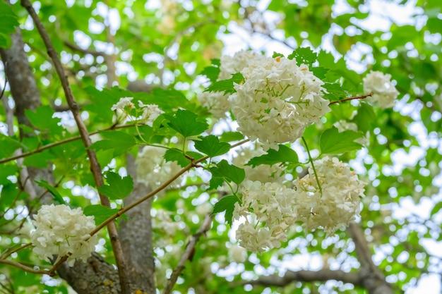 Bloeiende lentebloemen. grote mooie witte bollen van bloeiende viburnum opulus roseum (boule de neige). witte gelderse roos of viburnum opulus sterilis, sneeuwbalstruik, europese sneeuwbal is een struik.
