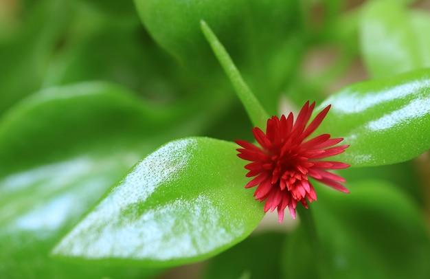 Bloeiende levendige roze baby sun rose bloem met levendige groene bladeren