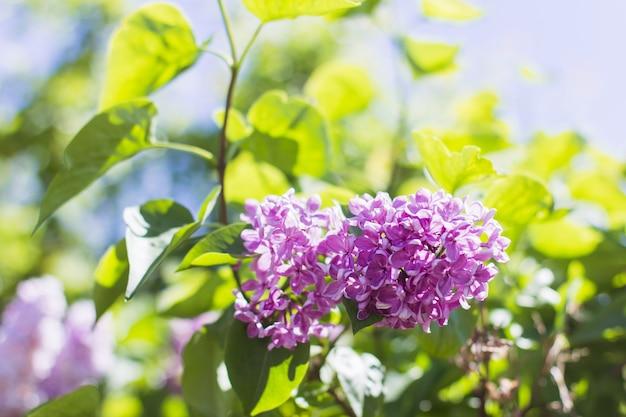 Bloeiende lila bloemen close-up tussen groene bladeren achtergrond