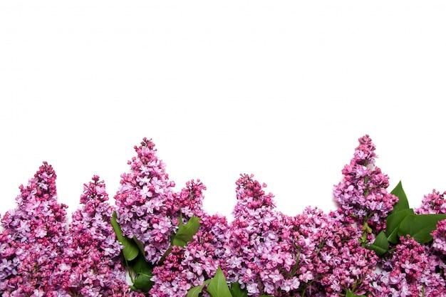 Bloeiende lilac bloemen die op een wit worden geïsoleerd