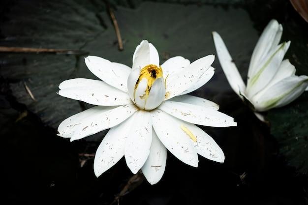 Bloeiende lotusbloembloem op het water
