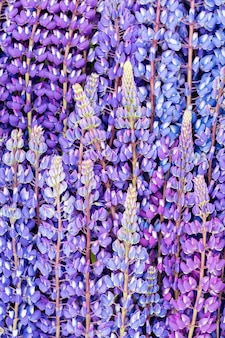 Bloeiende lupine bloemen. een veld van lupine. bloemen wazig achtergrond