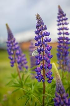 Bloeiende macro lupine bloem. lupine, lupine veld met roze paarse en blauwe bloem. stelletje lupine zomer bloem achtergrond. een veld met lupines. violet lente en zomer bloem. natuur