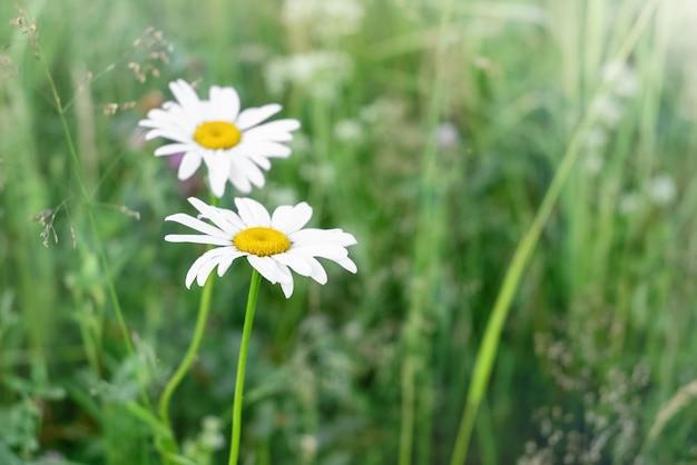 Bloeiende madeliefjes tussen het groene gras in de wei in de zomer
