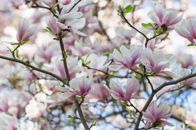 Bloeiende magnolia boomtak.