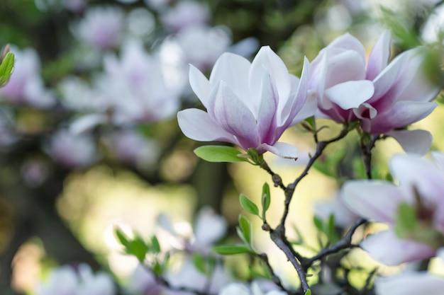Bloeiende magnolia boomtak