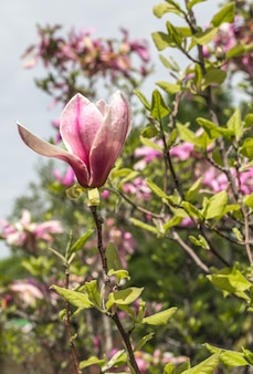 Bloeiende magnoliaboom close-up, concept van bloemen en de lente