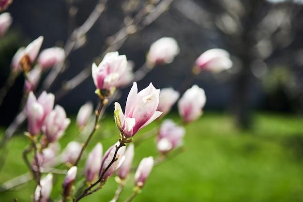 Bloeiende magnoliaboom met grote roze bloemen in een botanische tuin.