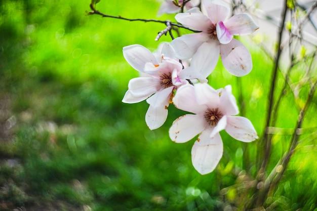 Bloeiende magnoliaboom