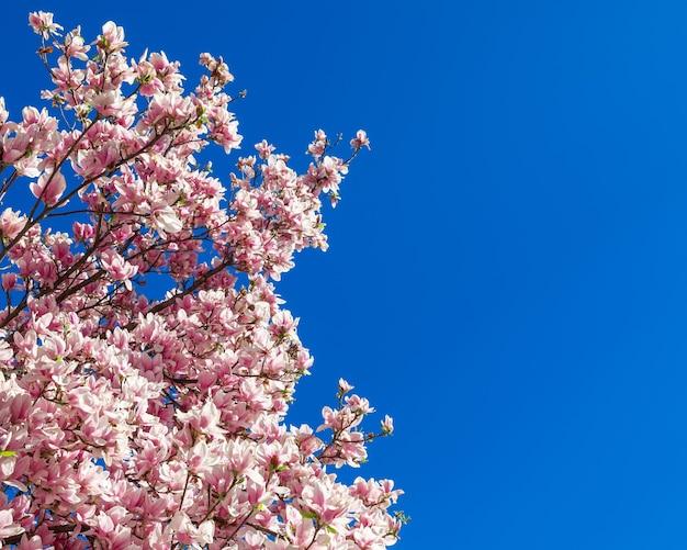 Bloeiende magnoliatakken tegen de achtergrond van de zuiverste blauwe lucht