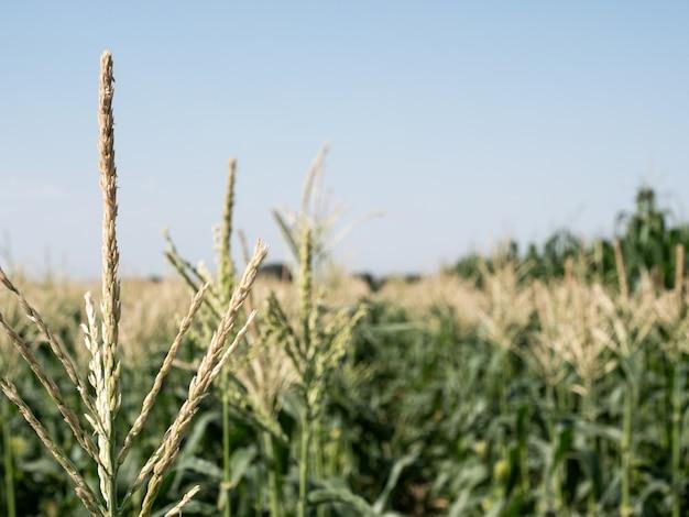 Bloeiende maïsvelden. horizontale foto.