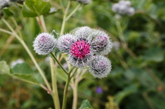 Bloeiende medicinale plant klit. arctium lappa wordt gewoonlijk grotere klis genoemd.