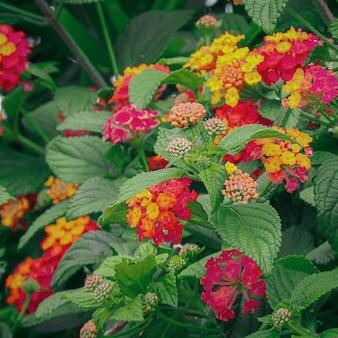Bloeiende, mooie en kleurrijke west-indische lantana-bloemen