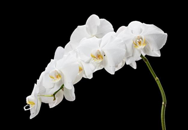 Bloeiende mooie witte phalaenopsis orchidee op zwarte achtergrond