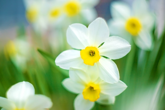Bloeiende narcissen in het voorjaar. selectieve aandacht.