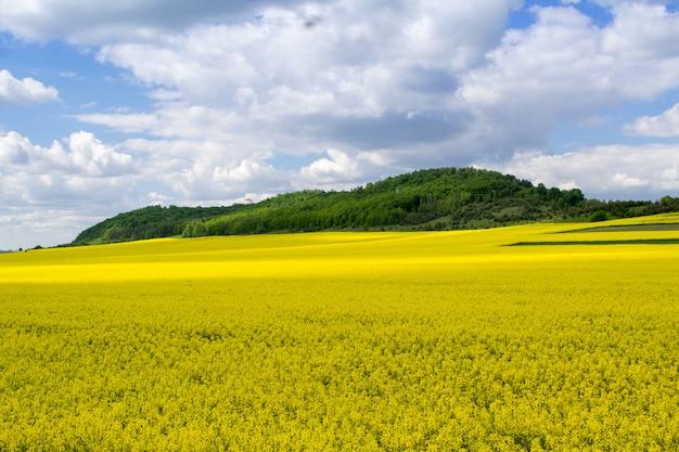 Bloeiende oliehoudende zaden koolzaad veld met blauwe bewolkte hemel. natuur landschap