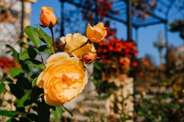 Bloeiende oranje roos in de tuin