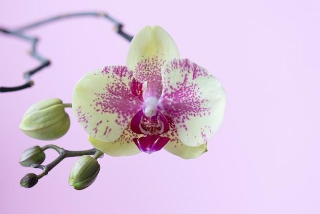Bloeiende orchideebloem. geel-roze orchidee.