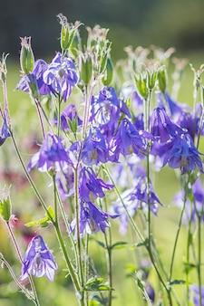 Bloeiende paarse en blauwe akelei