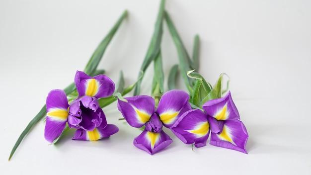Bloeiende paarse irisbloemen op wit. lente bloemen