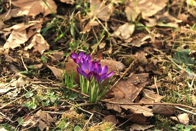 Bloeiende paarse krokussen in het voorjaar