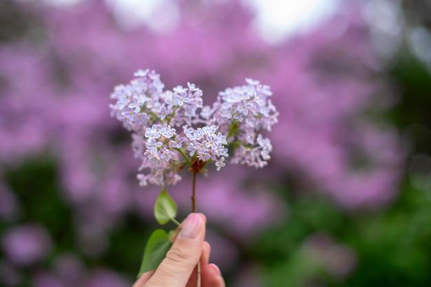 Bloeiende paarse lila struik in het voorjaar
