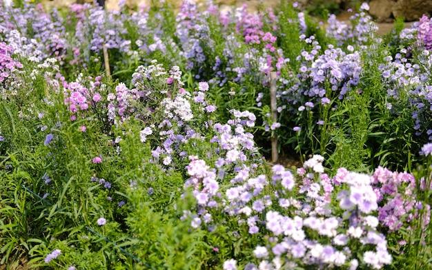 Bloeiende paarse magaret bloem op flora veld
