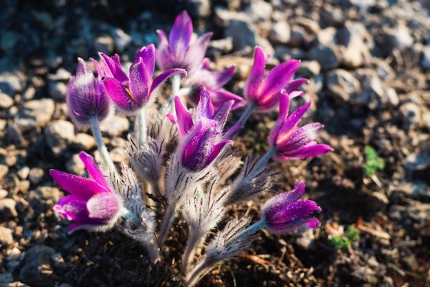 Bloeiende pasque-bloem in bergen in de lente