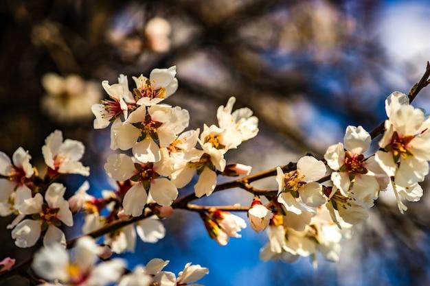 Bloeiende perzikboom in de tuin op blauwe hemelachtergrond