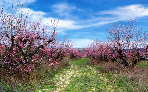 Bloeiende perzikboomgaarden in het vroege voorjaar