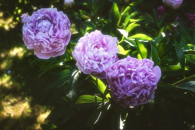 Bloeiende pioenroos in de tuin. mooie roze bloem in groene bladeren.