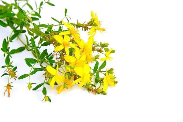 Bloeiende plant st. janskruid (hypericum perforatum) geneeskrachtig kruid geïsoleerd op wit