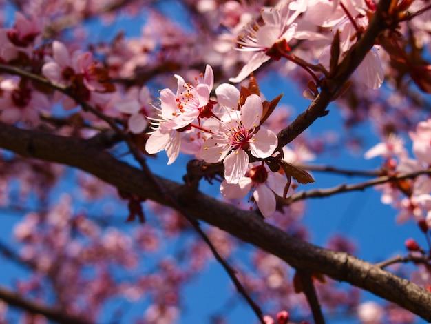 Bloeiende pruimeboom in de lente.