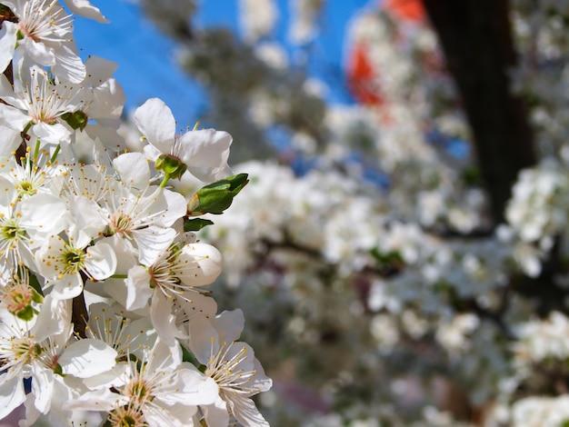 Bloeiende pruimenboom in de sping.